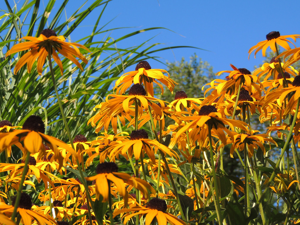 Blue Sky Black-Eyed Susans