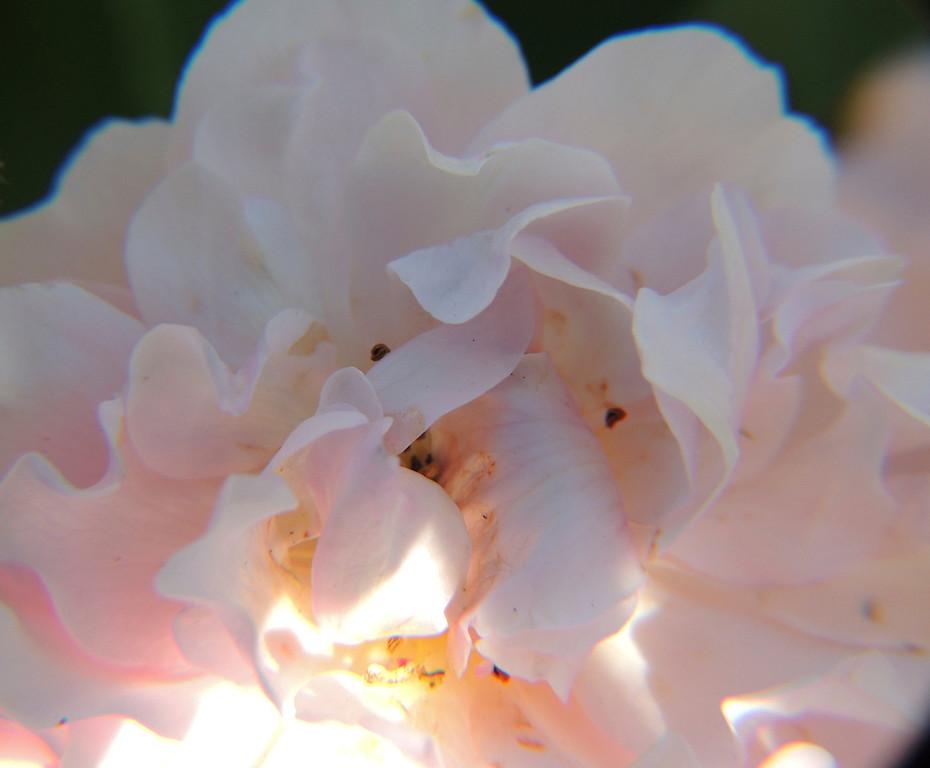 Rose Ruffles