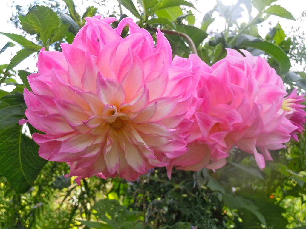 Hot Pink Dahlias