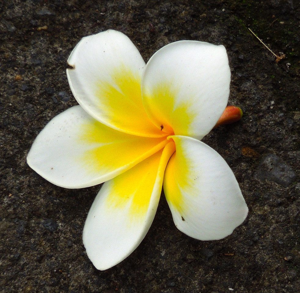 Frangipane Blossom