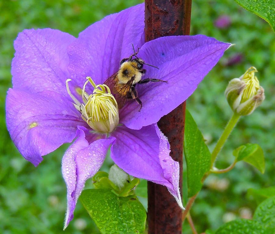 Drowsy Bumblebee