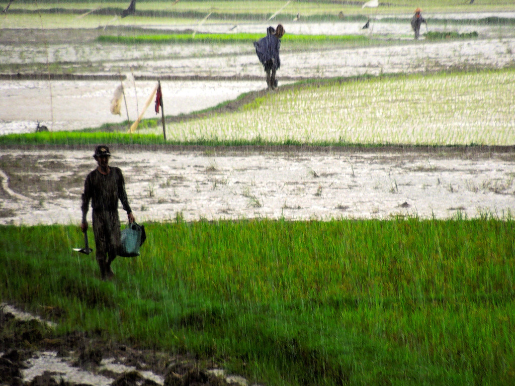 Rice Paddy Workers in the Monsoon
